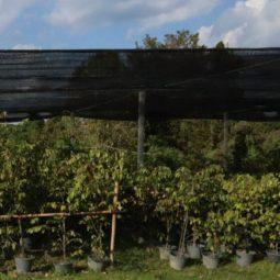 ต้นรวงผึ้ง ราคาถูก