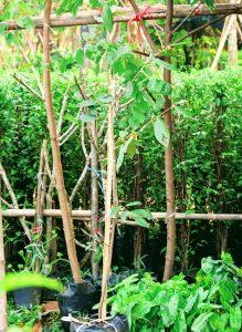 ต้นรวงผึ้ง พันธุ์ไม้ไทยน่าอนุรักษ์ ต้นไม้มงคล ประจำรัชกาลที่ 10