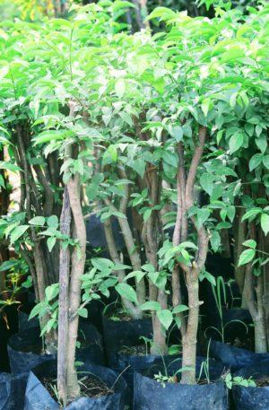 ต้นโมกราคาถูก จากตลาดต้นไม้ปราจีนบุรีราคาถูก