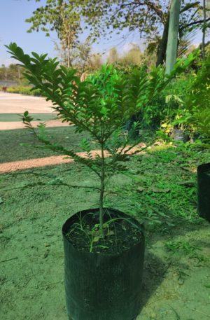 ต้นล่ำซำ ราคาถูกจากปราจีนบุรี