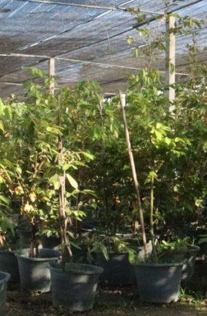 ต้นรวงผึ้ง พร้อมปลูกสูงประมาณ 30-50 เซ็นติเมตร