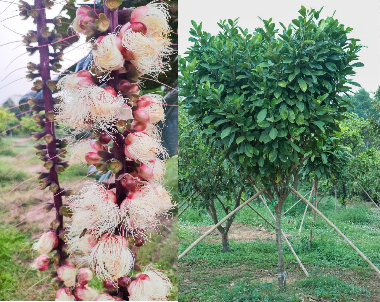 ต้นแก้วมุกดา ต้นจิกเศรษฐี 2 ต้นไม้น่าสนใจปลูกไว้ในบ้าน