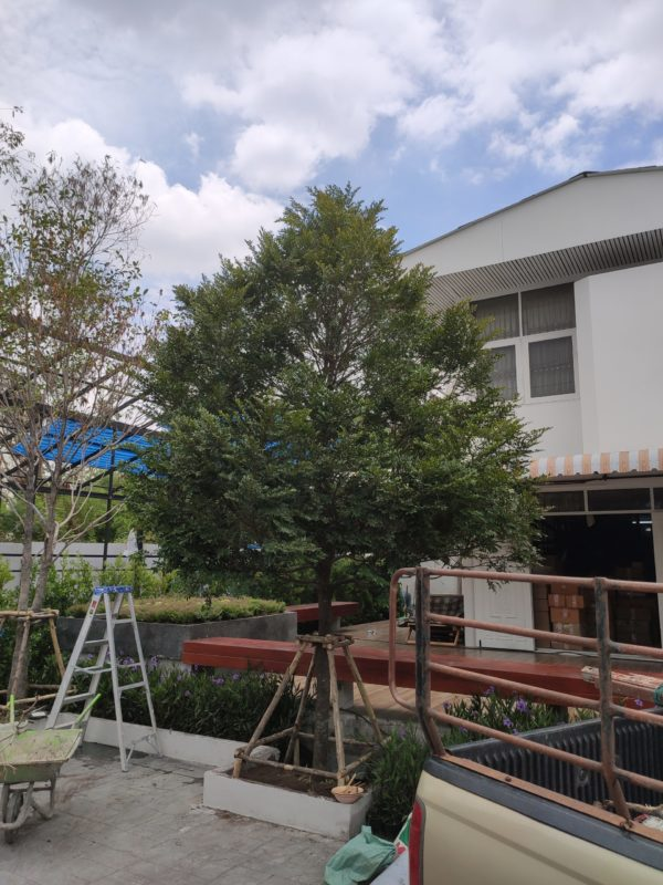 ต้นล่ำซำ ราคาถูกจากปราจีนบุรี 1