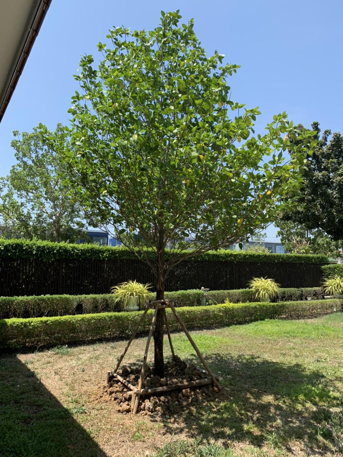 ต้นกันเกรา ไม้มงคลที่ควรมี