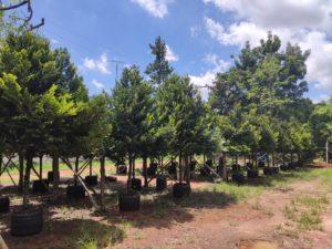 ต้นไม้มงคล ต้นไม้สามัญประจำบ้าน