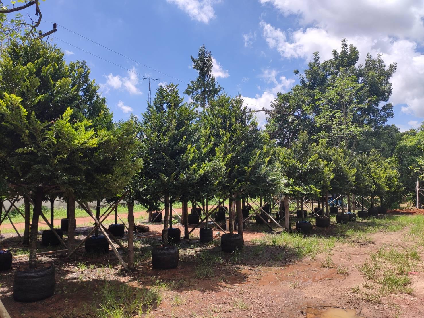 ต้นไม้มงคล-ต้นไม้สามัญประจำบ้าน-ที่อยู่คู่กับคนไทยมาช้านาน