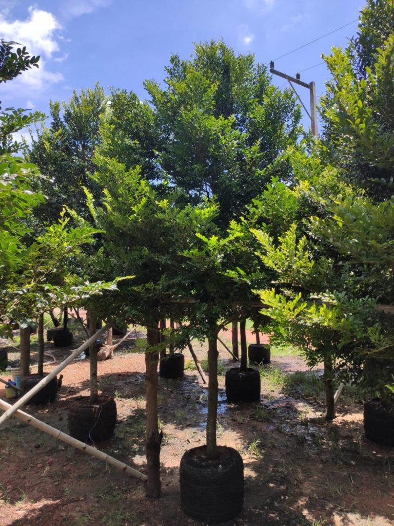 ต้นล่ำซำ ต้นมงคลประจำบ้าน